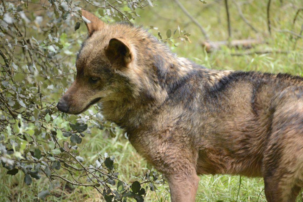 Lobo ibérico en el monte