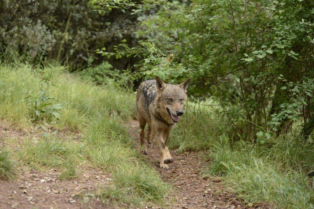 Lobo Ibérico caminando