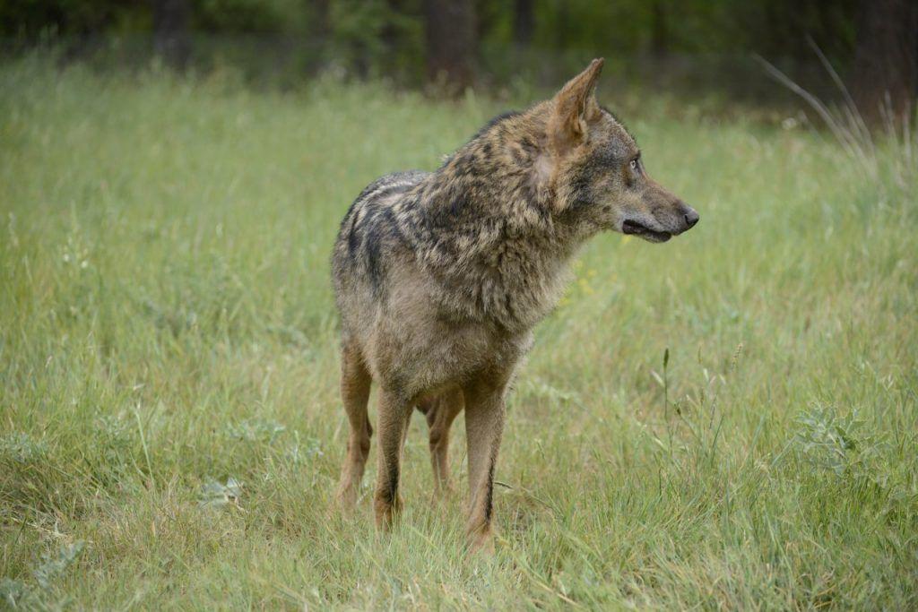 Lobo montes españoles
