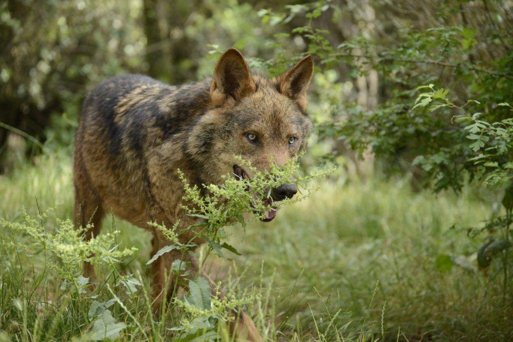 Lobo ibérico oculto