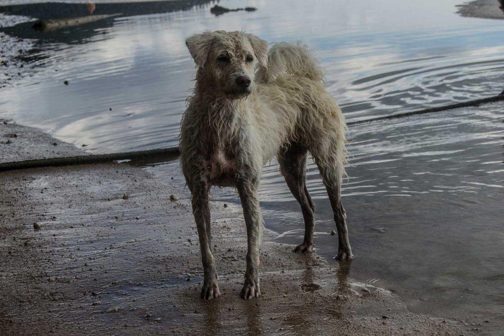 Perro vagabundo Koh Tao