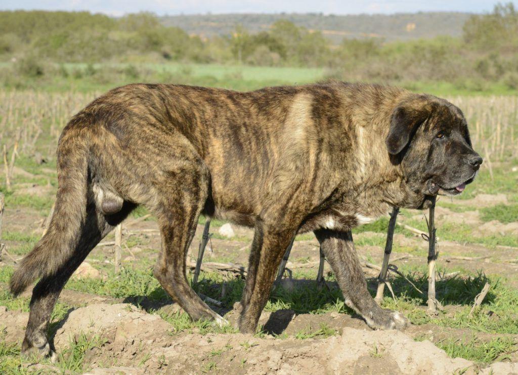 Perro grande - Lobo Ibérico