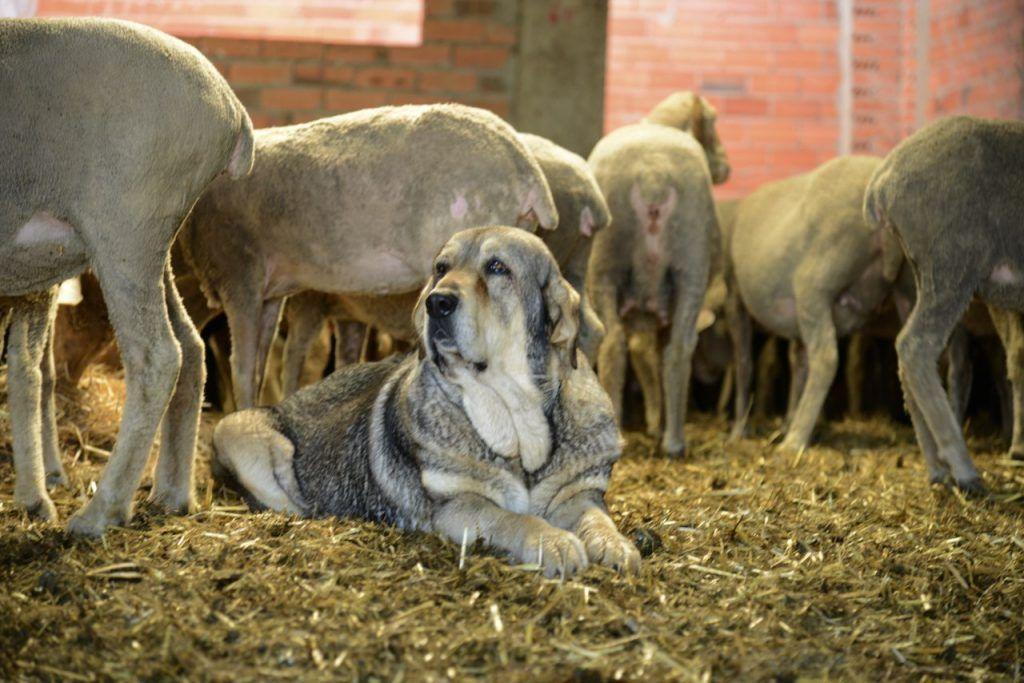 Perros pastores Lobos