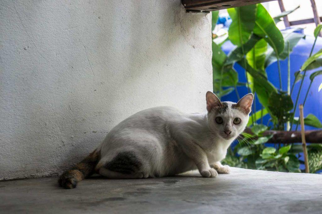Colonia gatos - Koh Tao