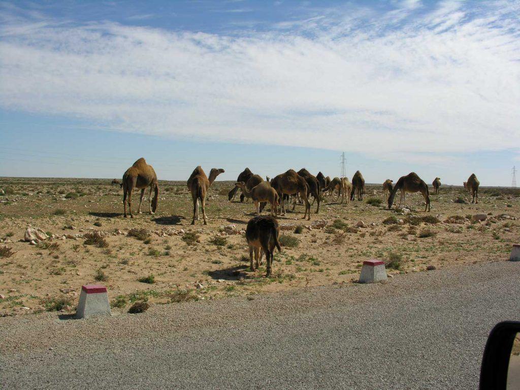 Camellos desierto África