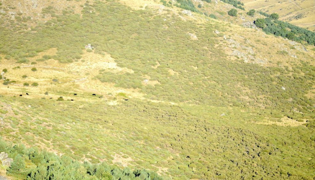 Raza Avileña. Montaña de Avila