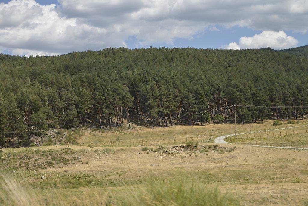 Pino albar en Sierra de Gredos