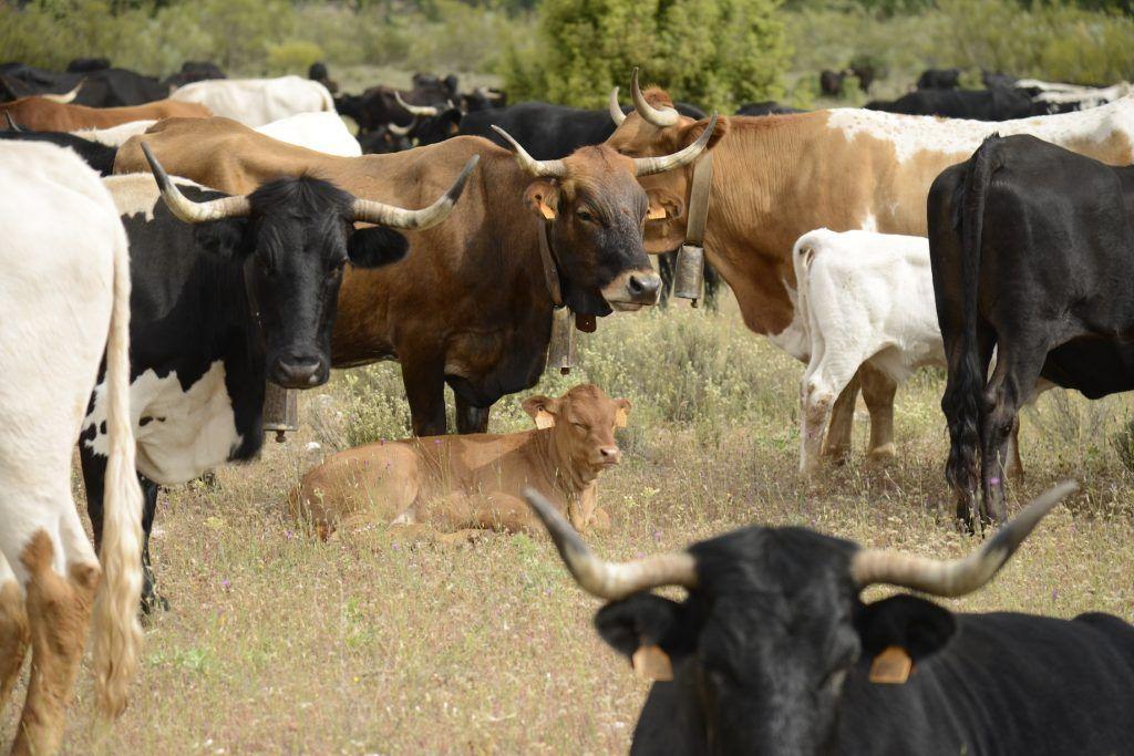Vacas trashumantes. Riópar (Albacete)