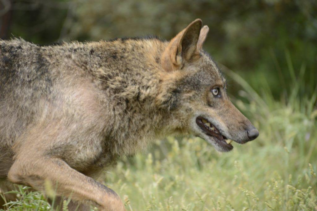 Lobo Ibérico acechando